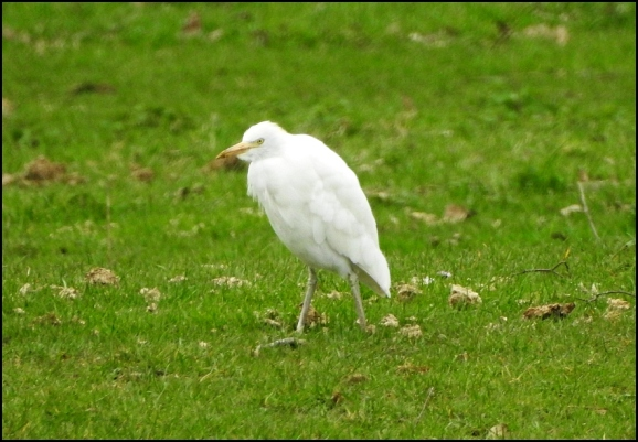 Cattle Egret 180319
