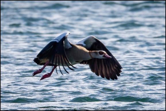 Egyptian Goose 090319