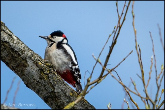 Great Spotted Woodpecker 170319