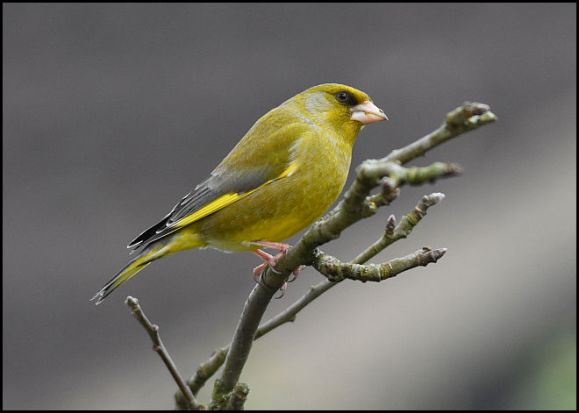Greenfinch 130319