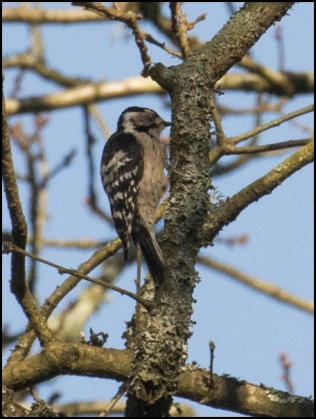 Lesser Spotted Woodpecker 030319 1