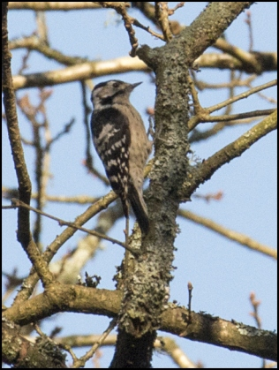 Lesser Spotted Woodpecker 030319 2.