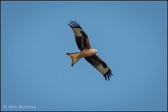 Red Kite 300319