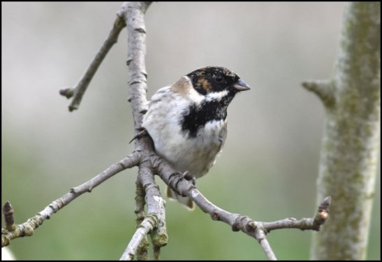 Reed Bunting 020319