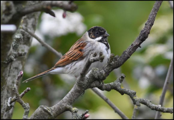 Reed Bunting 130319