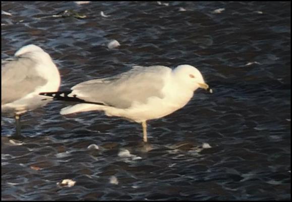 Ring-billed Gull 260319