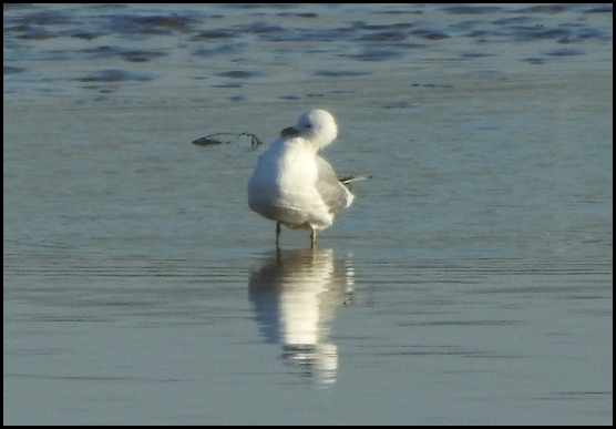 Ring-billed Gull 280319 1