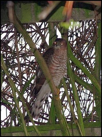 Sparrowhawk 150319