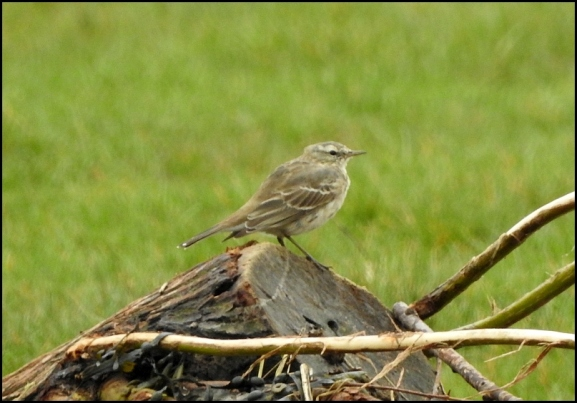 Water Pipit 210319 2