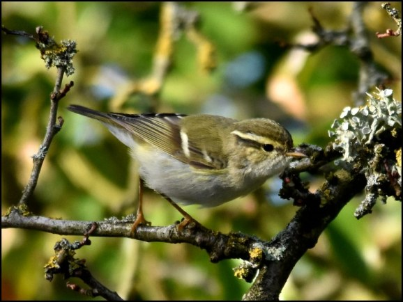 Yellow-browed Warbler 050319