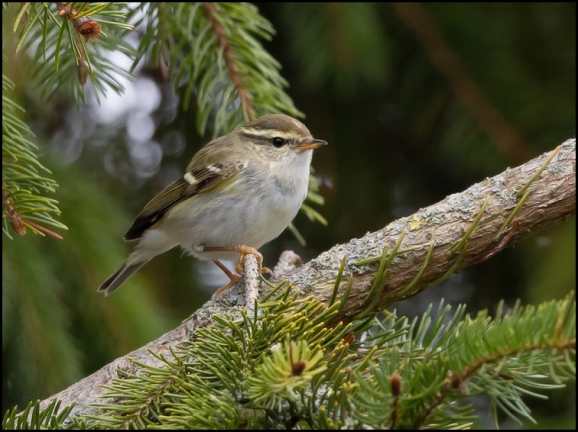 Yellow-browed Warbler 080319 1