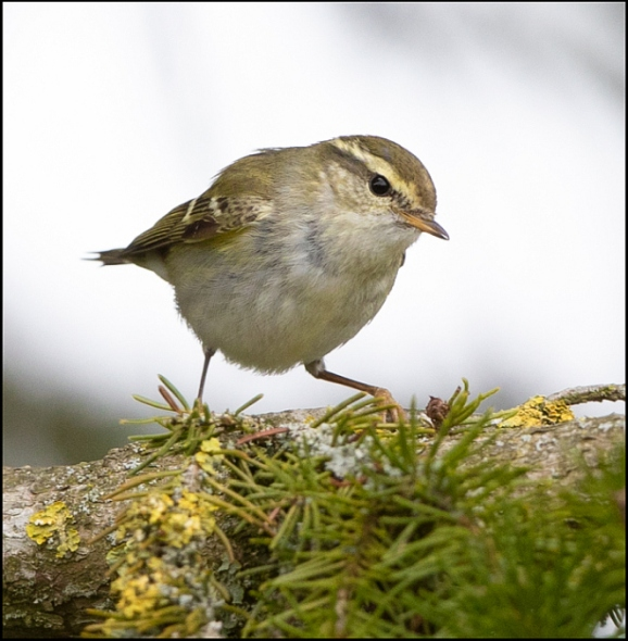 Yellow-browed Warbler 080319 2