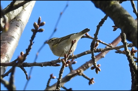 Yellow-browed Warbler 170319