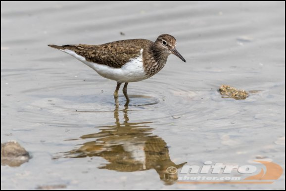 Common Sandpiper 280419