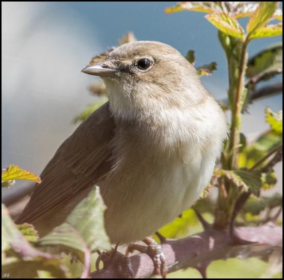 Garden Warbler 290419