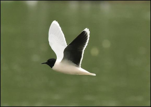 Little Gull 230419 1