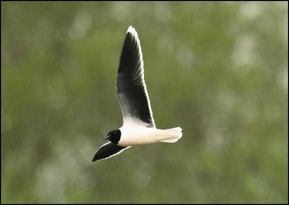Little Gull 230419 2