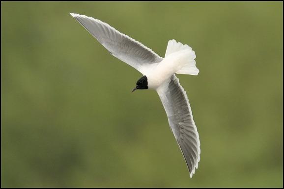 Little Gull 230419 3