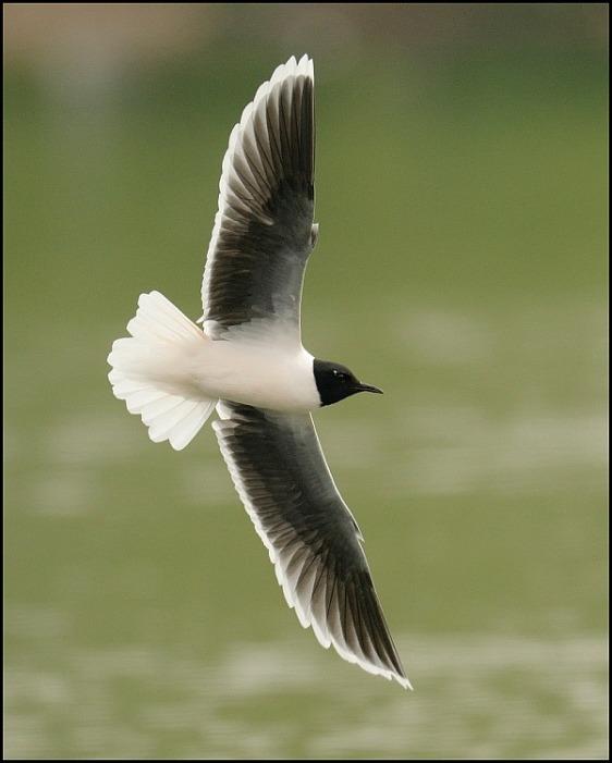Little Gull 230419 4