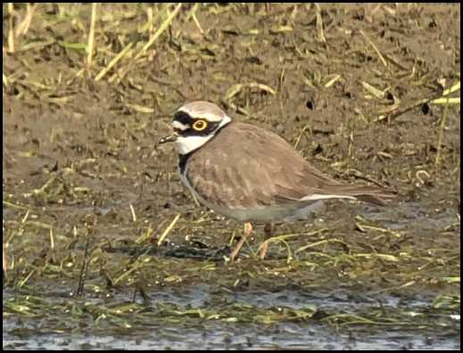 Little Ringed Plover 140419