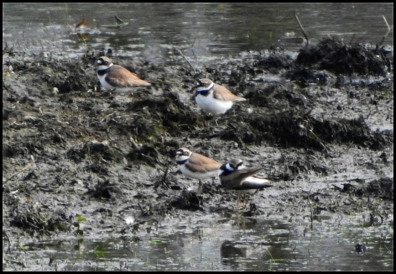 Little Ringed Plovers 180419