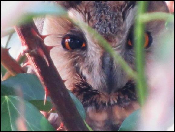 Long-eared Owl 190419