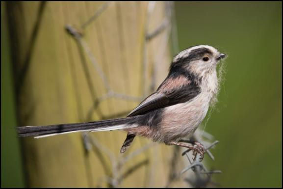 Long-tailed Tit 200419
