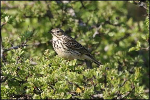 Meadow Pipit 210419