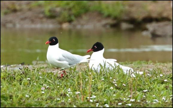 Mediterranean Gulls 250419