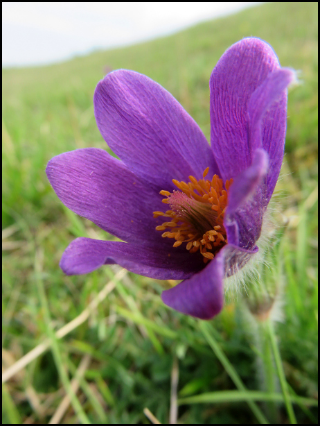 Pasque Flower 220419
