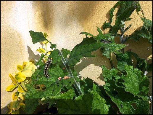 Scarlet Tiger caterpillars 080419.jpg