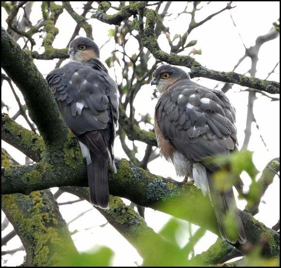 Sparrowhawks 180419