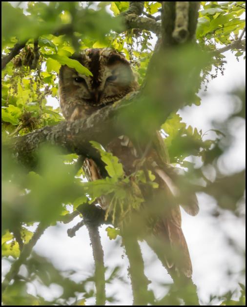 Tawny Owl 280419