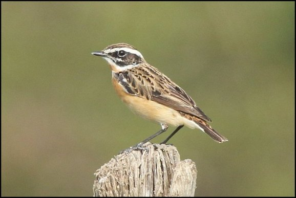 Whinchat 180419