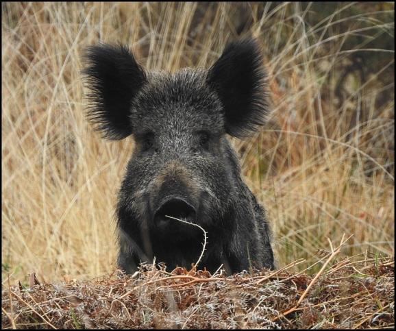 Wild Boar 160419 1