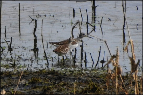 Wood Sandpiper & Green Sandpiper 180419
