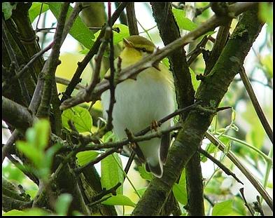 Wood Warbler 260419