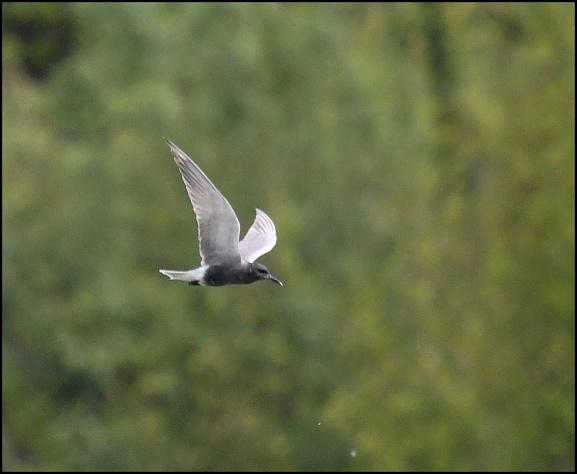 Black Tern 070519 2