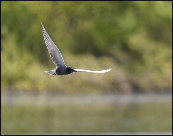 Black Tern 070519