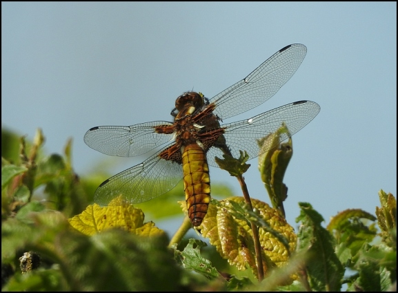 Broad-bodied Chaser f 120519