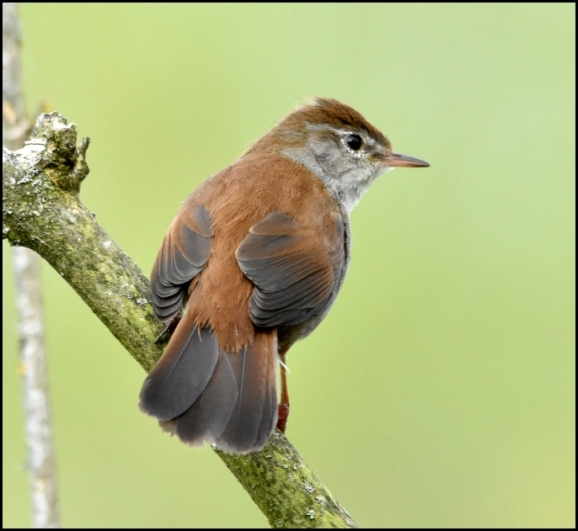 Cetti's Warbler 050519