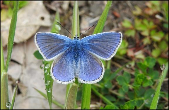 Common Blue 300519