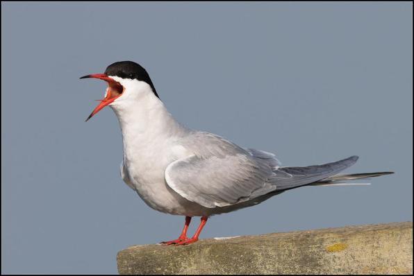 Common Tern 160519