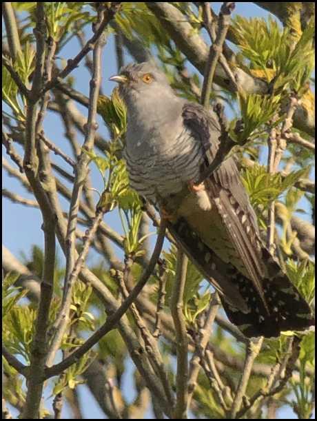 Cuckoo 140519