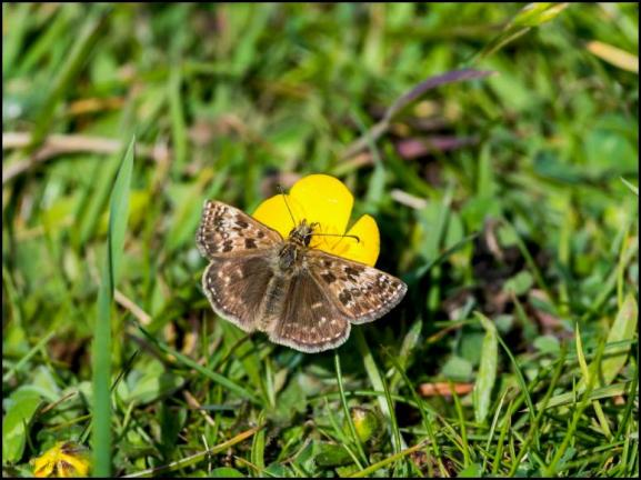Dingy Skipper 160519