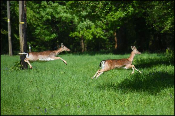 Fallow Deer 150519