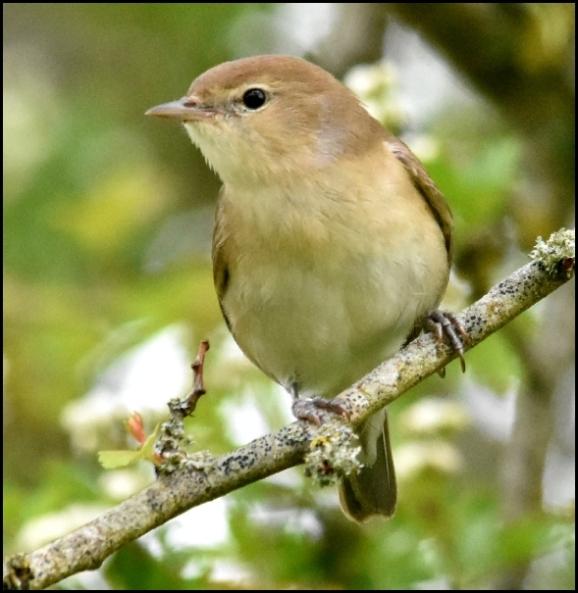 Garden Warbler 050519