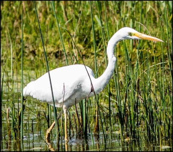 Great White Egret 220519