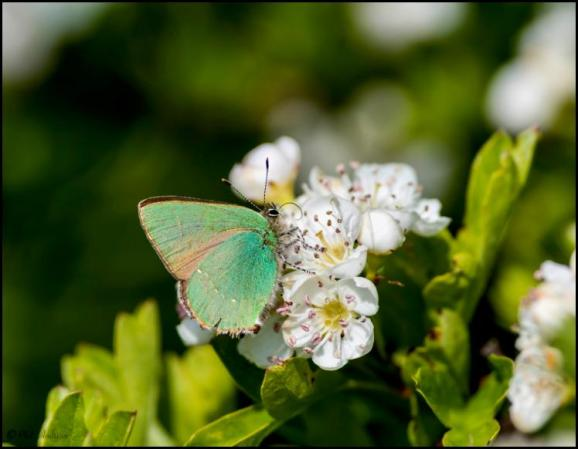 Green Hairstreak 160519