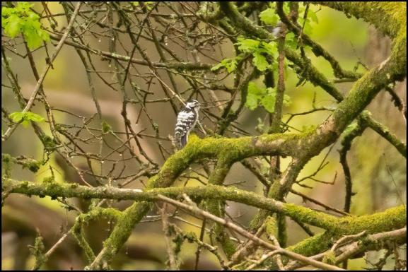 Lesser Spotted Woodpecker 080519